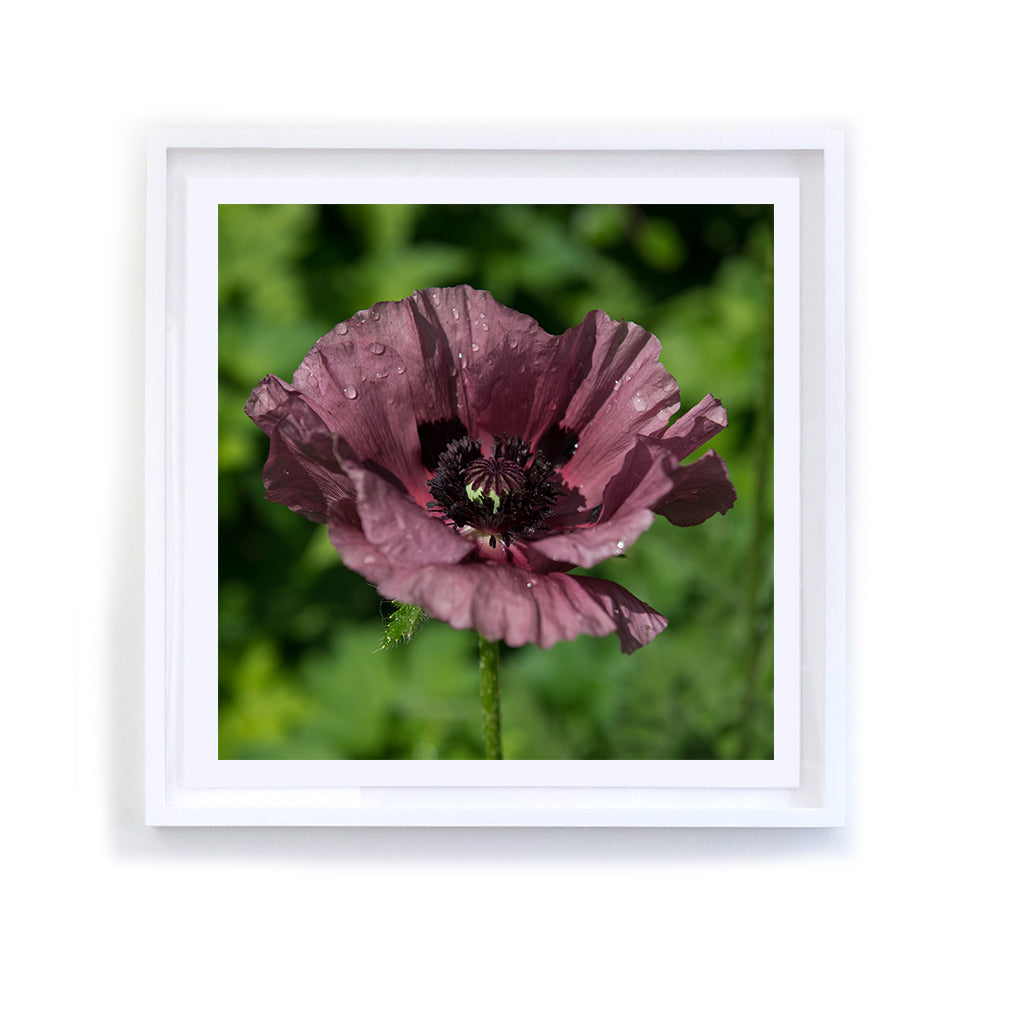 Plum Poppy, Framed