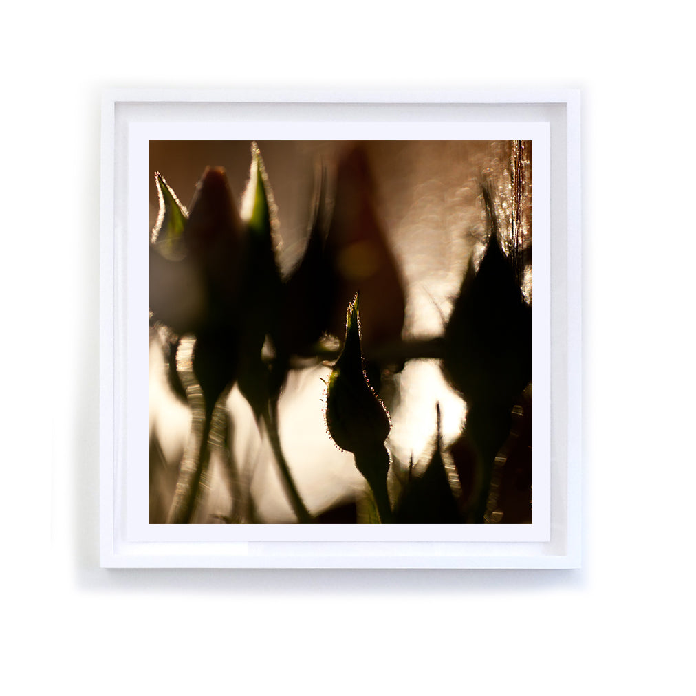 Rosebud Shadows, Framed
