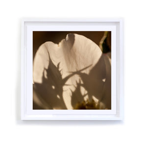 Rosebud Shadows on Petal, Framed