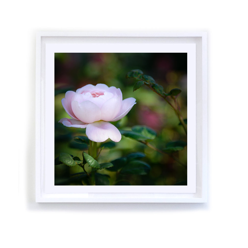 Standing Pink Rose, Framed
