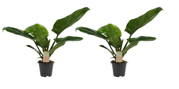 Philodendron Narrow Escape + Xanadu