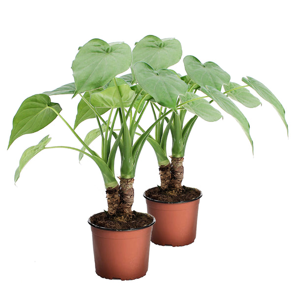 Alocasia Cucullata or Stingray Duo