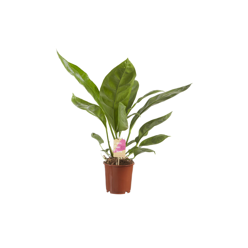 Anthurium Jungle King - Squarely