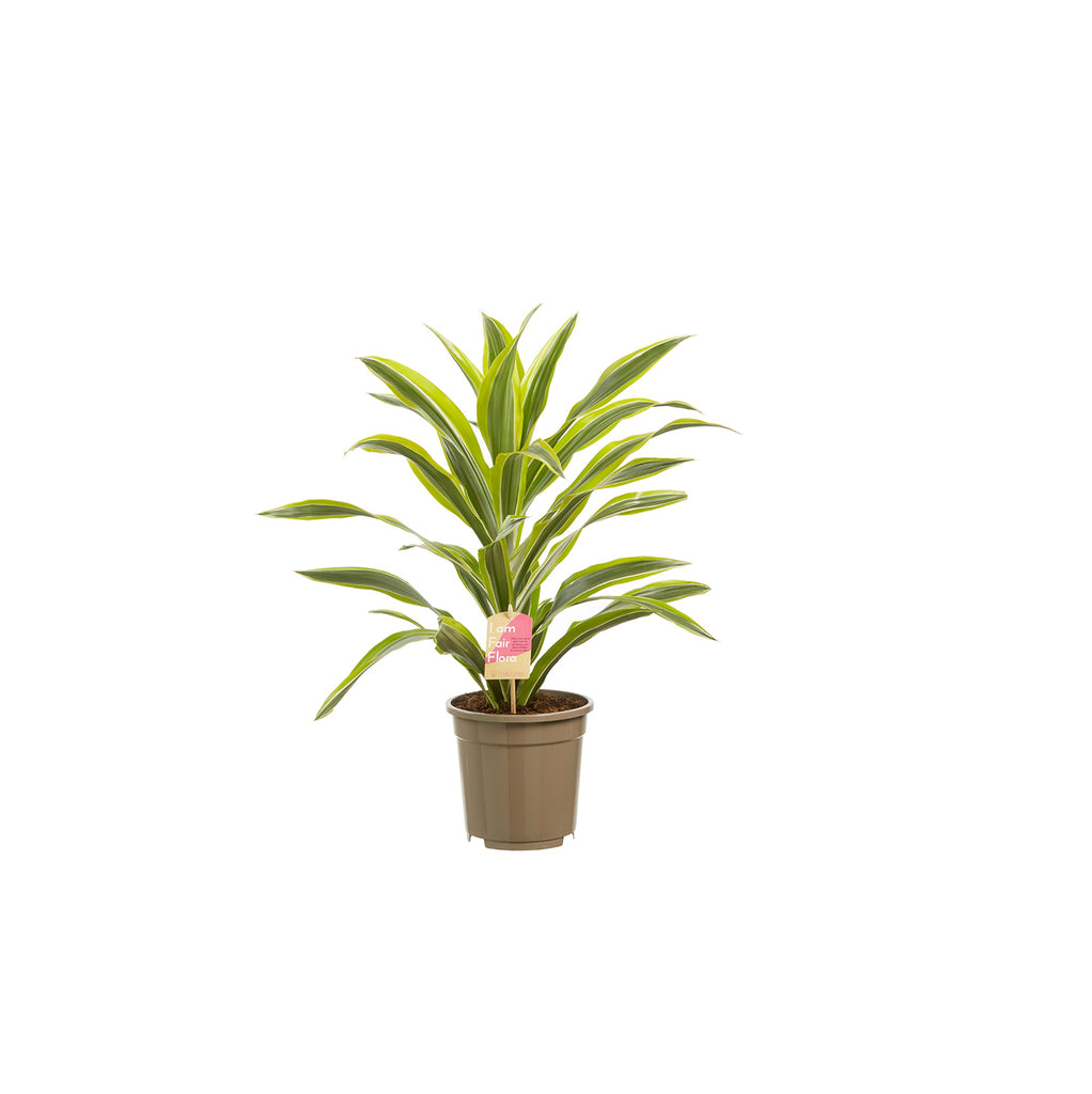 Plant: Medium size - Squarely