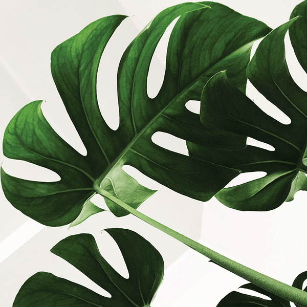 Monstera Moss Stick