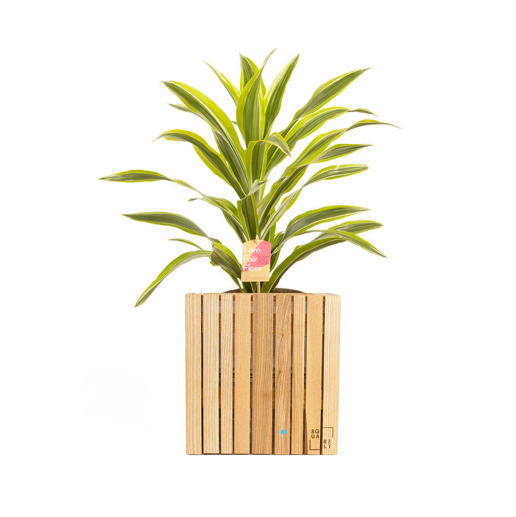 Plant&Product set: 1xGrowON Natural Ash + 1 plant - Squarely