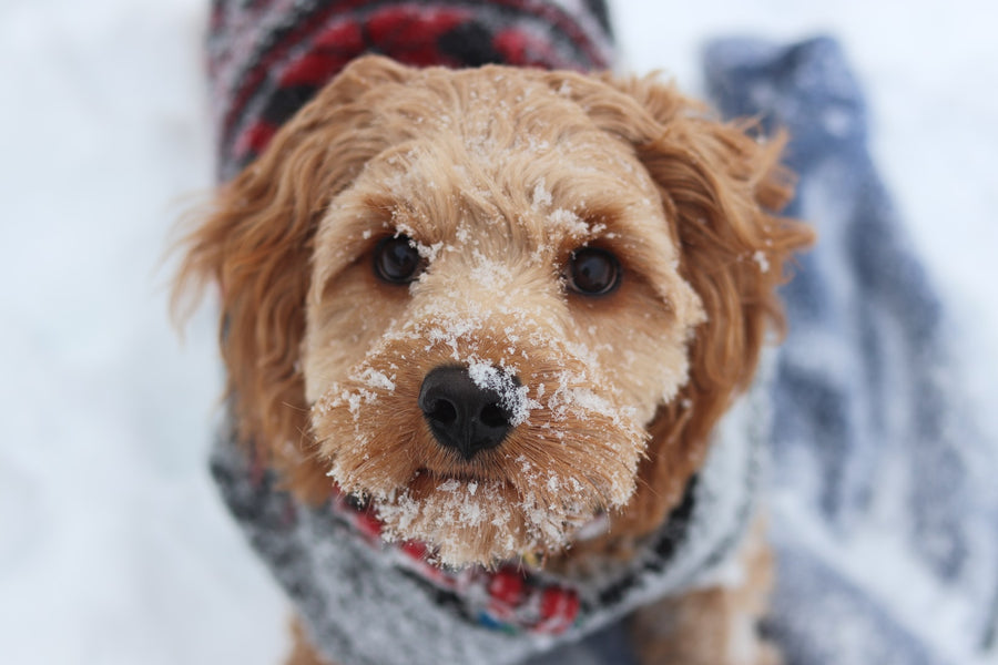 Keep Your Dog Warm in the Winter