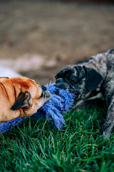 Is Tug of War Bad for Dogs?