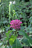 Purple Milkweed - Asclepias purpurascens