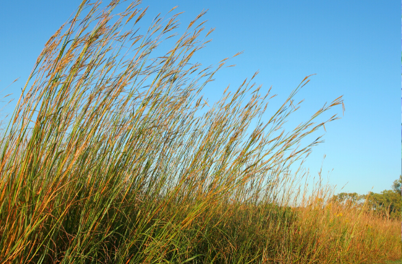 Big Bluestem - Andropogon gerardii