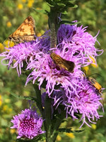 Northern Blazing Star - Liatris scariosa