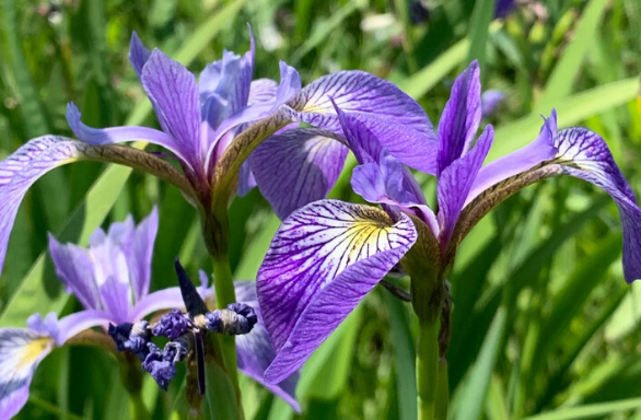 Northern Blue Flag - Iris versicolor
