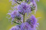 Button Blazing Star - Liatris aspera