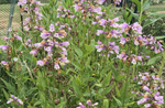 Calico Beardtongue - Penstemon calycosus