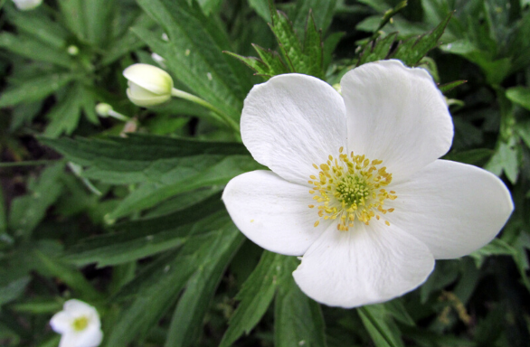 Canadian Anemone - Anemone canadensis