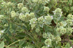 Clustered Moutain Mint - Pycnanthemum muticum