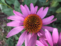 Purple Coneflower - Echinacea purpurea