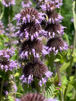 Downy Wood Mint - Blephilia ciliata