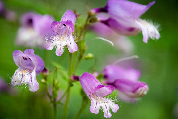 Hairy Beardtongue - Penstemon hirsutus