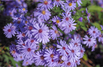 Heart-leaved Aster - Symphyotrichum cordifolium