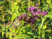 Common Ironweed - Vernonia fasciculata