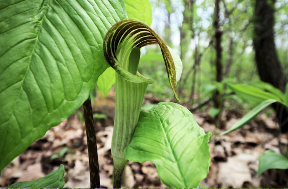 Jack in the Pulpit - Arisaema triphyllum