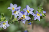 Jacob's Ladder - Polemonium reptans