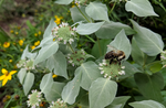 Mountain Mint - Pycnanthemum virginianum