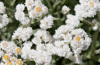 Pearly Everlasting - Anaphalis margaritacea