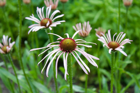 Pale Purple Coneflower - Echinacea pallida