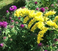 Showy Goldenrod - Solidago speciosa