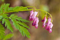 Fringed Bleeding Heart - Dicentra eximia