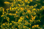 Sweet Goldenrod - Solidago odora