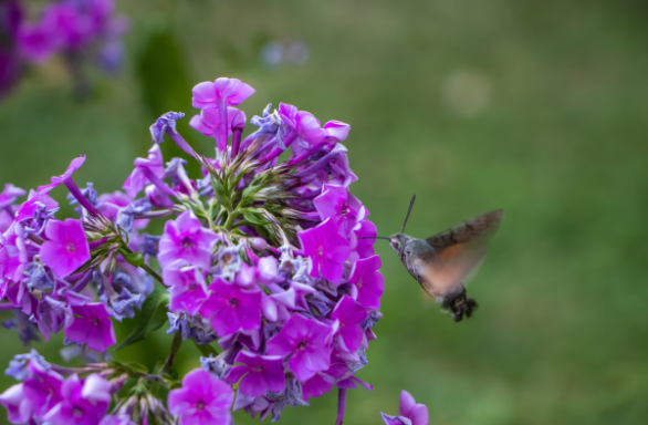 Wild Sweet William - Phlox maculata