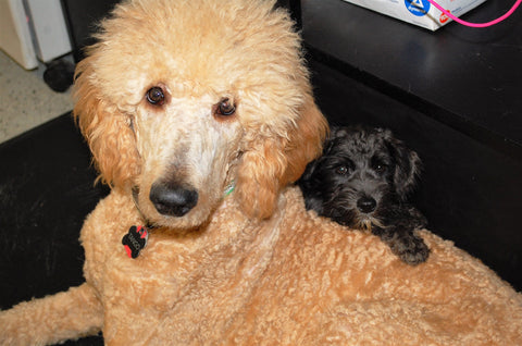 Elvis having a moment with Tango our Poodle