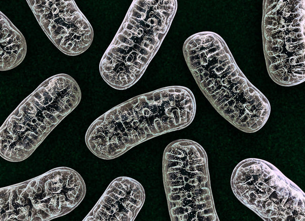 NMN Administration Promotes Mitochondrial Health and Prevents Heart Failure