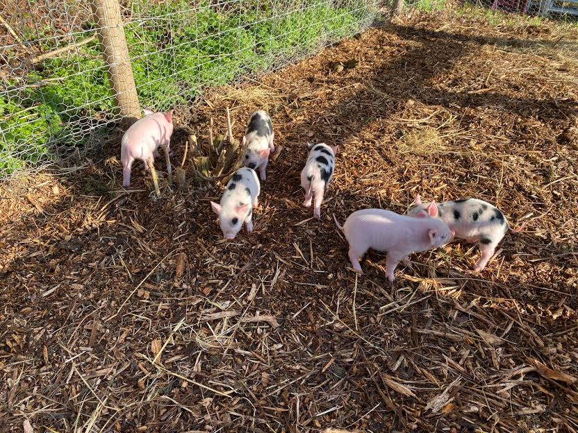New Piglets for 2020!