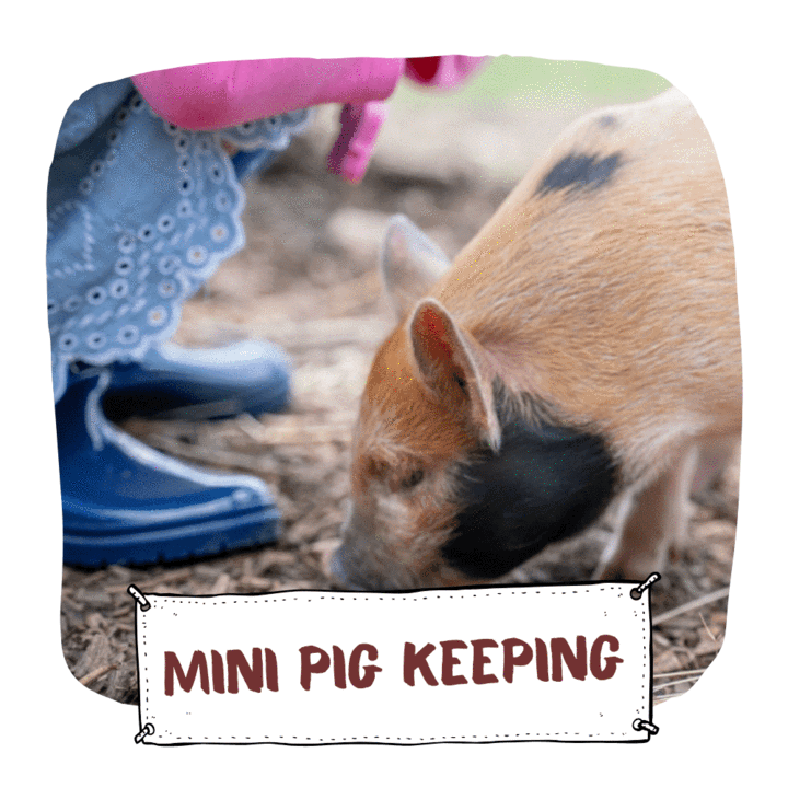 Mini Pig keeping with Kew Little Pigs