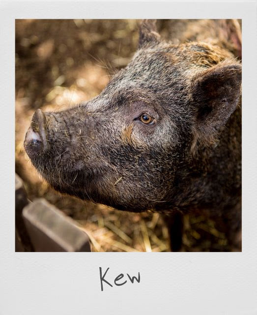 An emotional farewell to our precious pig Kew