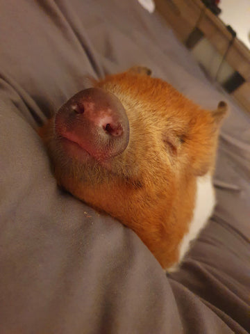 Biscuit the micro pig