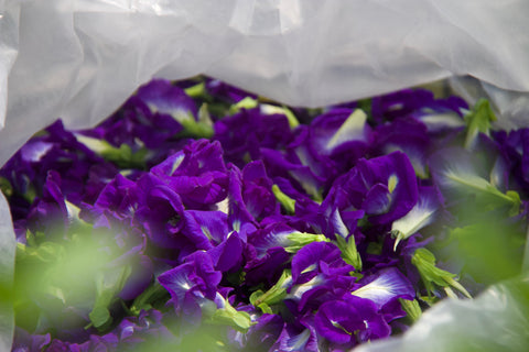 Butterfly Pea flowers, fresh, in Thailand.