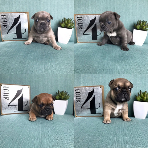 Rare Color French Bulldog Puppies For Sale