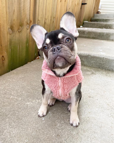 chocolate and tan frenchie