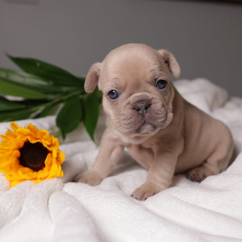 lilac sable frenchie