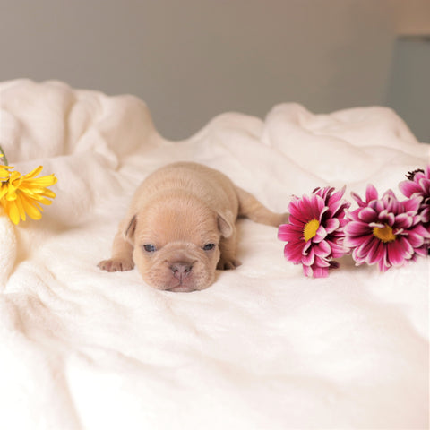 lilac sable frenchie puppy