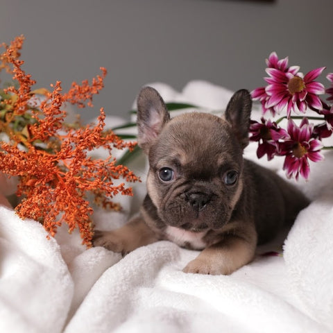 chocolate sable frenchie