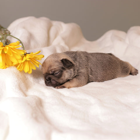 sable frenchie puppy