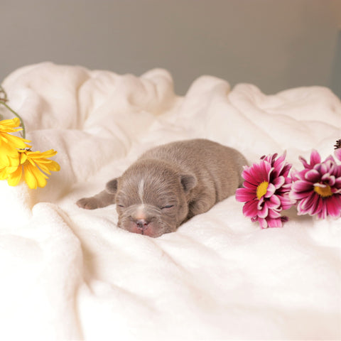 lilac frenchie puppy