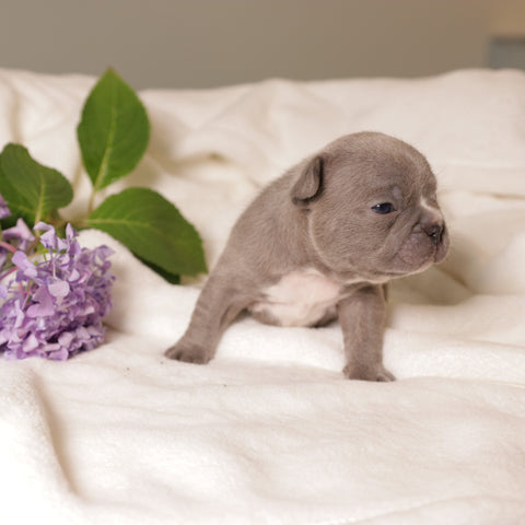 lilac frenchie