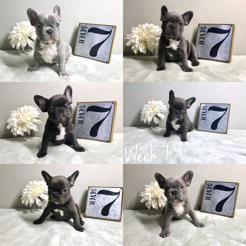 7 week old frenchie puppies